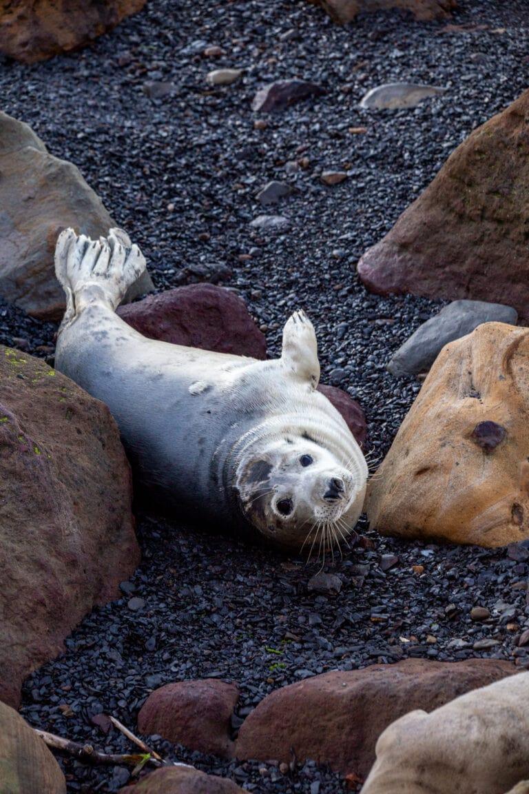 seal pup, ravenscar, nature, explore, north yorkshire, eaches