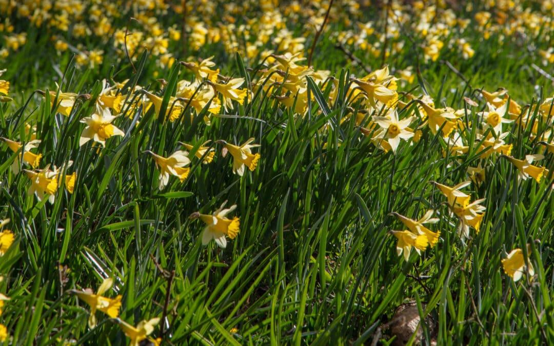 Farndale – the Daffodil Valley